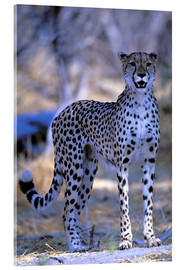 Acrylic print  Attentive cheetah - Pete Oxford