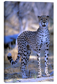 Canvas print  Attentive cheetah - Pete Oxford