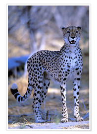 Poster  cheetah - Pete Oxford