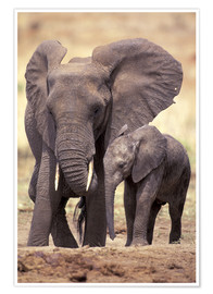 Premium poster Elephants, Tarangire National Park