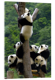 Acrylic print  Panda babies on the climbing tree - Pete Oxford