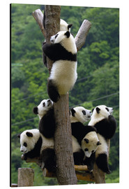Aluminium print  Panda babies on the climbing tree - Pete Oxford
