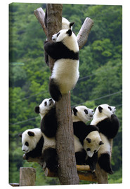 Canvas  Flock of wild panda babies on the climbing tree - Pete Oxford