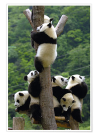 Premium poster  Flock of wild panda babies on the climbing tree - Pete Oxford