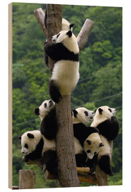 Wood print  Panda babies on the climbing tree - Pete Oxford