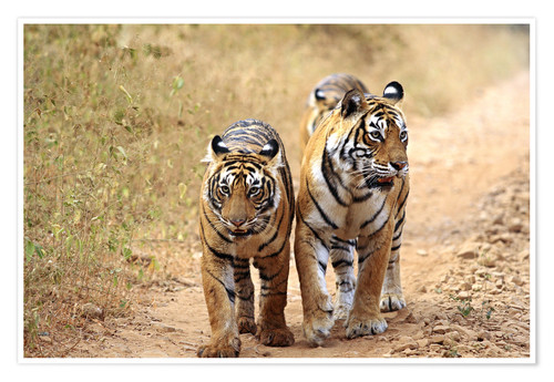 Premium poster Royal Bengal Tigers on the track