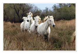 Premium poster Camargue horses in the marsh