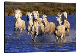 Alu-Dibond  Camargue horses galloping through wetlands - Adam Jones
