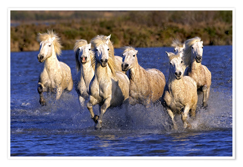 Poster Camargue horses galloping through wetlands