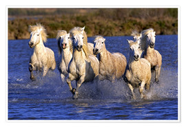Premium poster Camargue horses galloping through wetlands