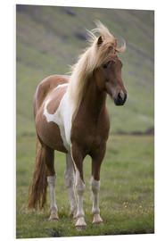 Forex  Iceland horse - Don Grall