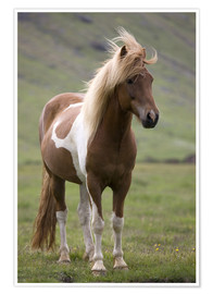 Premium poster  Iceland horse - Don Grall