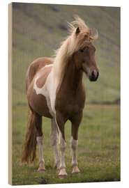 Wood print  Iceland horse - Don Grall