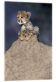 Acrylic print  Cheetah baby on a stone - Theo Allofs