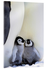 Acrylic print  Emperor penguin with chicks - Keren Su