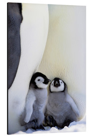 Aluminium print  Emperor penguin with chicks - Keren Su