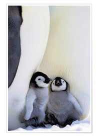 Premium poster Emperor Penguin with Chick