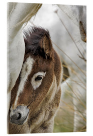 Acrylic glass  Camargue horse foal, southern France - Adam Jones