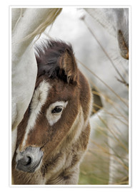 Premium poster Camargue horse foal, southern France