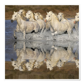 Premium poster Camargue horses and reflection