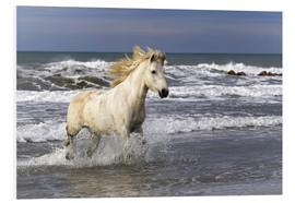 Foam board print  Camargue horse in the surf - Adam Jones