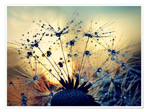 Poster Dandelion in the sunset