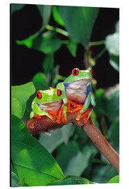 Aluminium print  Redeyedtreefrogcouple sitting on a branch - David Northcott