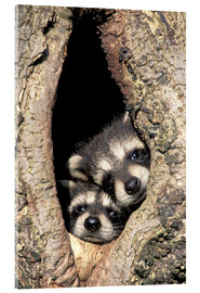 Acrylic glass  Baby raccoons in tree cavity - Adam Jones