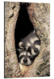Aluminium print  Baby raccoons in the tree cave - Adam Jones