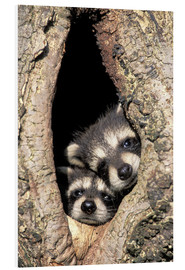 Adam Jones - Baby raccoons in tree cavity