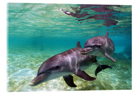 Acrylic glass  Two bottlenose dolphins from the beaches of the Caribbean - Stuart Westmorland