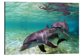 Aluminium print  Two bottlenose dolphins from the beaches of the Caribbean - Stuart Westmorland