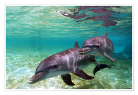 Premium poster  Two bottlenose dolphins from the beaches of the Caribbean - Stuart Westmorland