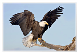 Poster  A bald eagle with outstretched wings - Charles Sleicher
