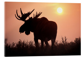 Acrylic glass  Moose at sunset - Steve Kazlowski