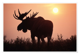 Poster  Moose at sunset - Steve Kazlowski