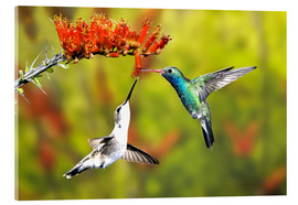 Acrylic glass  Broad-billed Hummingbirds at a Flower - Don Grall