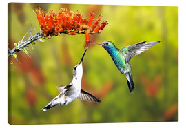 Canvas print  Broad-billed hummingbirds on flower - Don Grall