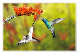 Premium poster  Broad-billed Hummingbirds at a Flower - Don Grall