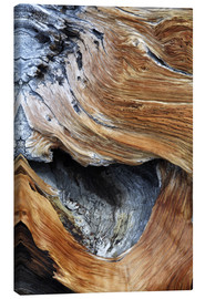 Canvas  Detail from the trunk of an old pine tree - Dennis Flaherty