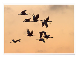 Premium poster Canada cranes in flight