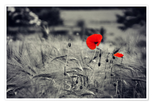 Premium poster Red poppies in a cornfield