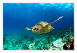 Premium poster  Green sea turtle under water - Paul Kennedy