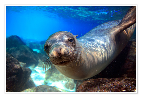 Premium poster Sea lion underwater portrait