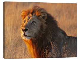 Canvas print  Lion in the evening light - Africa wildlife - wiw