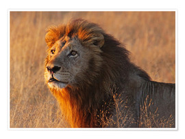 wiw - Lion in the evening light - Africa wildlife