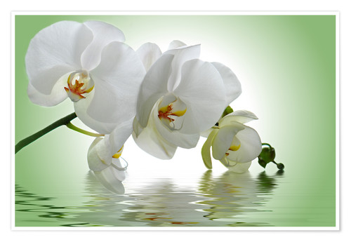 Premium poster Orchid with Reflection