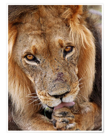 Premium poster View of the lion - Africa wildlife