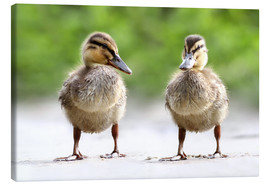 Canvas print  ducks - WildlifePhotography