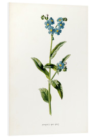 Foam board print  Forget-Me-Not - Frederick Edward Hulme